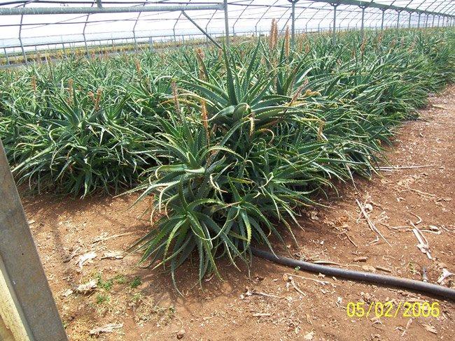 Organic Aloe Arborescens