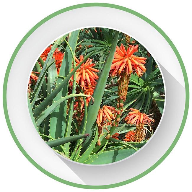 Aloe Arborescens Supplement